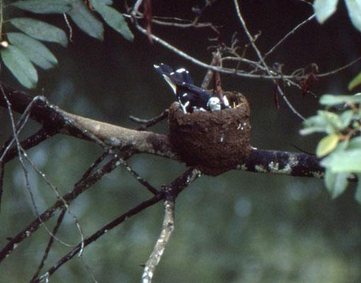 nest van Australian Magpie-lark