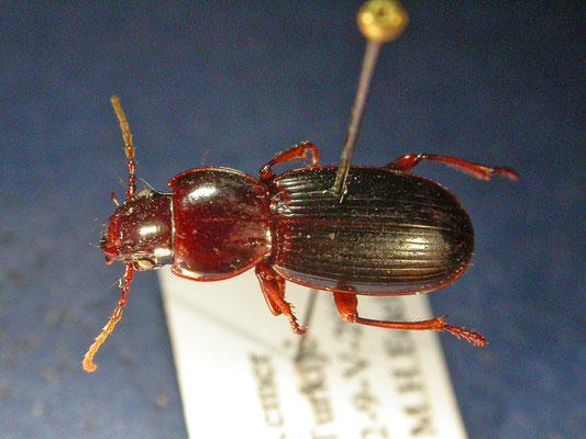 Tapinopterus species