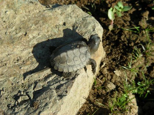 een hele kleine Moorse beekschildpad (Mauremys leprosa)