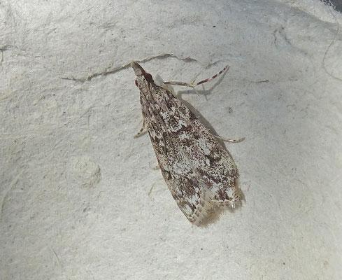 Eudonia lacustrata - Lichte granietmot