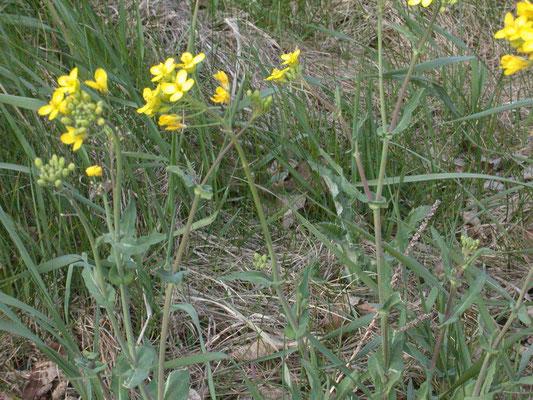 Brassica napus - Raapzaad