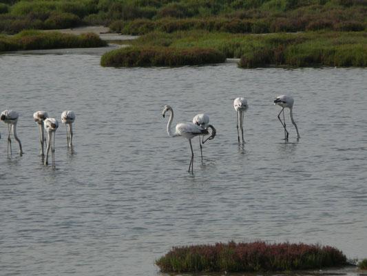 Europese flamingo's