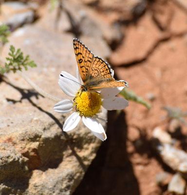 Melitaea acentria - 'piste'vlinder