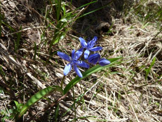 Scilla bifolia - Vroege sterhyacinth