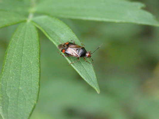Deraeocoris flavilinea - Esdoornhalsbandwants