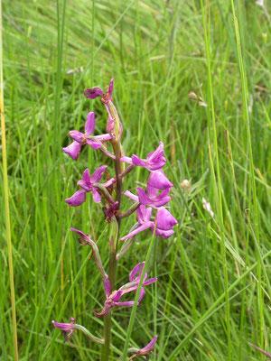 Anacamptis laxiflora - IJle orchis