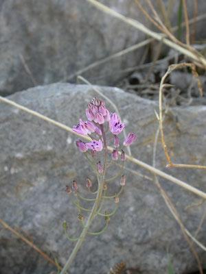 Scilla autumnalis - Herfststerhyacinth