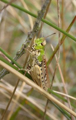 Myrmeleotettix maculatus - Knopsprietje