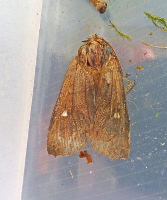 Eupsilia transversa - Wachtersvlinder