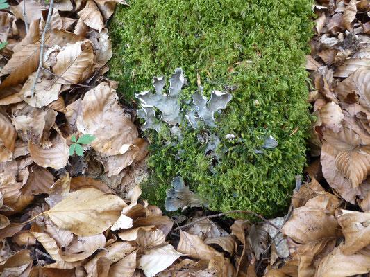 Peltigera hymenina - Kaal leermos
