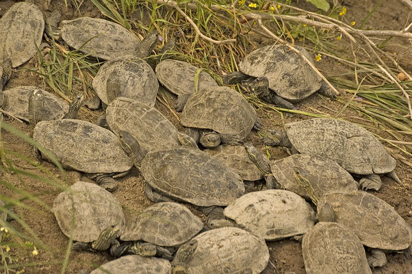 Mauremys rivulata - Balkanbeekschildpad