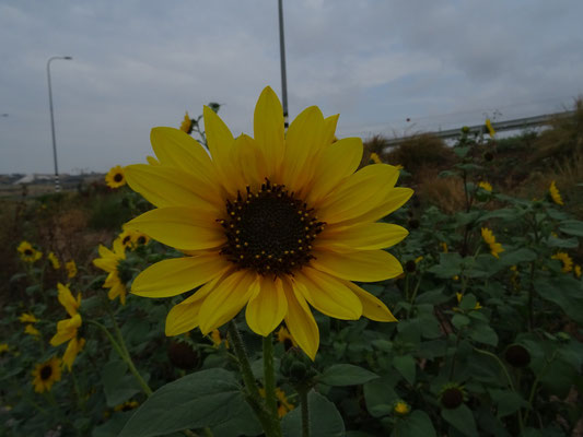 Helianthus species