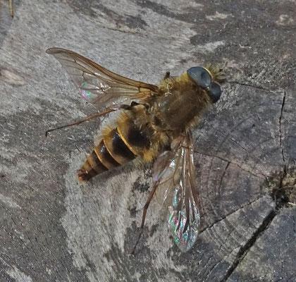 Thereva nobilitata - Gewone viltvlieg