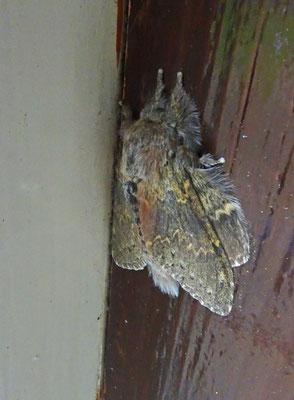 Stauropus fagi - Eekhoorn
