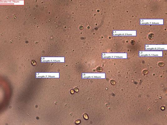 Clavaria fragilis - Wormvormige knotszwam