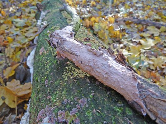 Peniophora quercina - Paarse eikeschorszwam