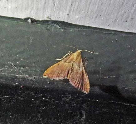Endotricha flammealis - Strooiselmot