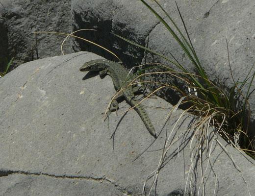Dinarolacerta montenigrina