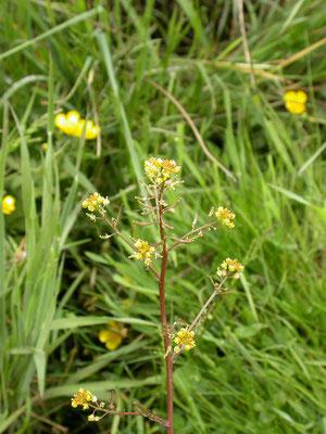 Rorippa palustris - Moeraskers