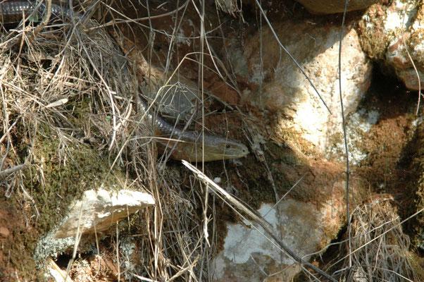 Pseudopus apodus (scheltopusik)