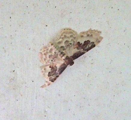 Idaea rusticata - Schaduwstipspanner