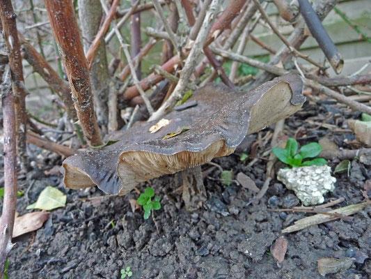 Melanoleuca brevipes - Kortstelige veldridderzwam