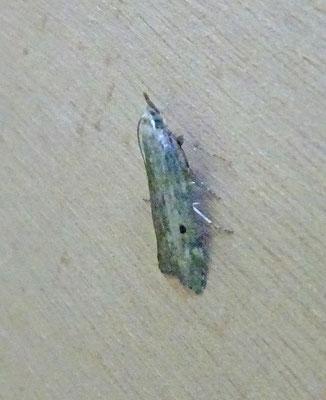 Aphomia sociella - Hommelnestmot