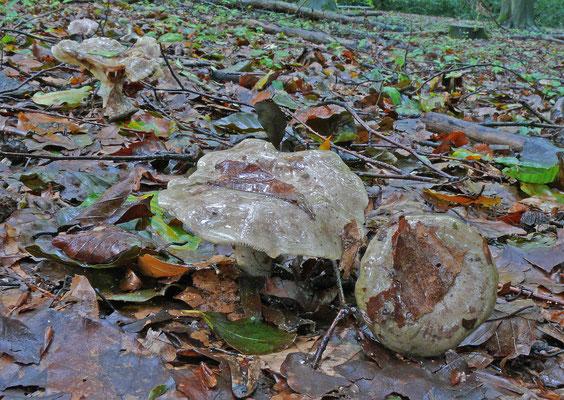 Lactarius blennius - Grijsgroene melkzwam