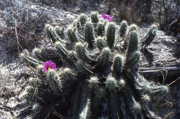 Cactussoort