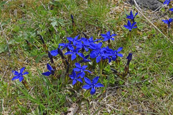 Voorjaarsgentiaan (Gentianella verna)