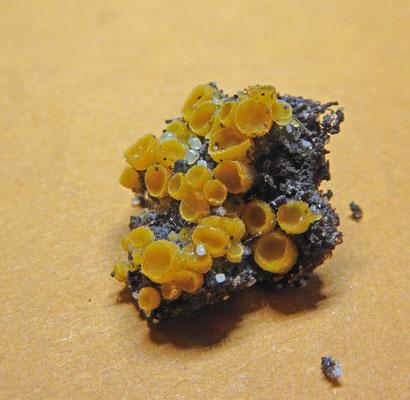 Cheilymenia theleboloides - Compostborstelbekertje