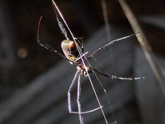 Nephila species (Reuzenwielwebspin)