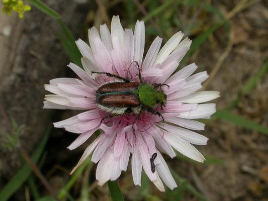 Eulasia species