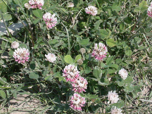 Trifolium hybridum - Bastaardklaver