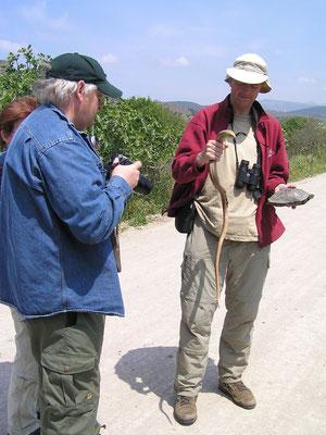 Scheltopusik en Balkanbeekschildpad worden veilig van de weg gehaald