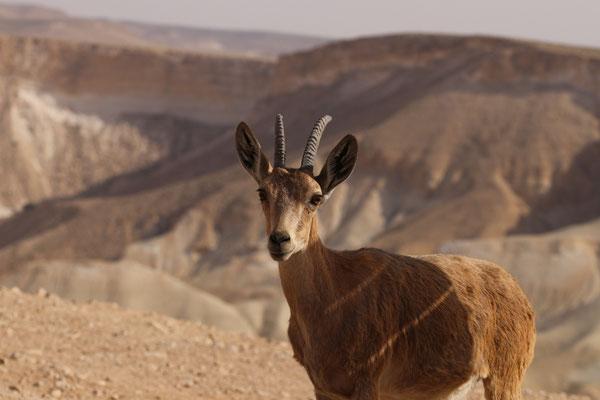 Nubische steenbok