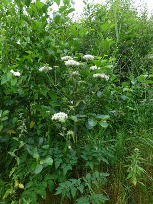 Angelica sylvestris - Gewone engelwortel