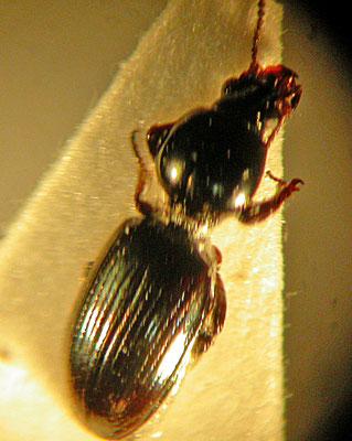 Dyschirius thoracicus