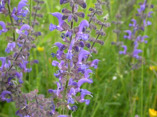 Salvia pratensis - Veldsalie