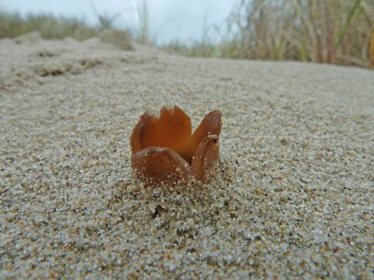 Peziza ammophila - Zandtulpje