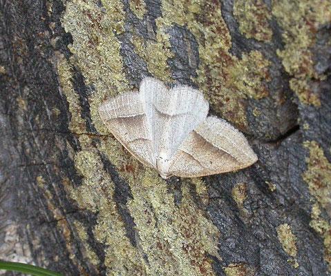 Petrophora chlorosata - Varenspanner