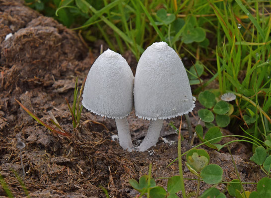 Coprinopsis niveus sl - Poederinktzwam