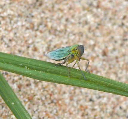 Cicadella viridis - Groene rietcicade