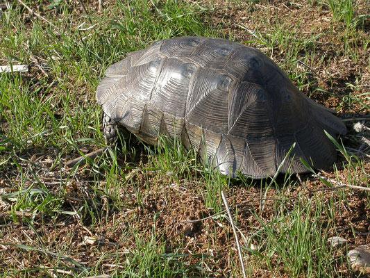 dwergklokschildpad