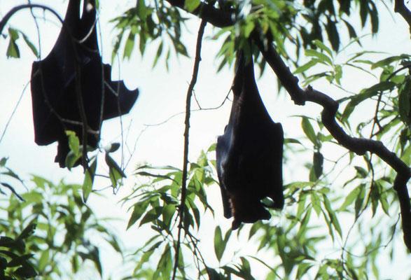 Black Flying Fox