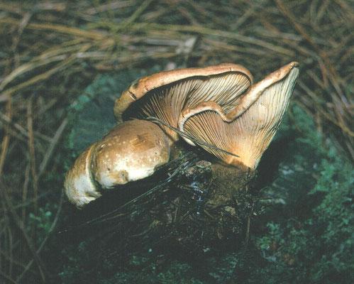 Paxillus atrotomentosus - Zwartvoetkrulzoom