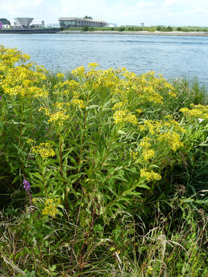 Senecio fluviatilis - Rivierkruiskruid