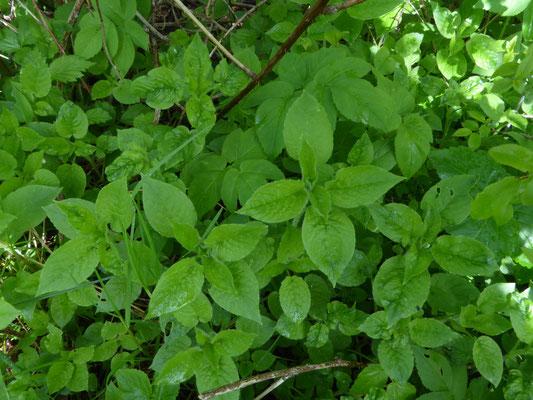 Stellaria nemorum - Bosmuur