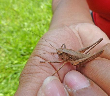 Pholidoptera species