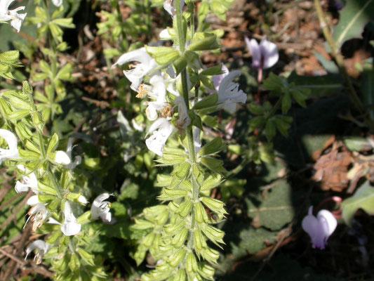 Salvia verticillata - Kranssalie